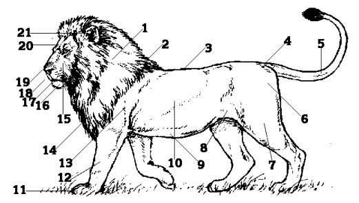leeuw lim